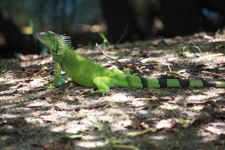 plants species: Iguana.