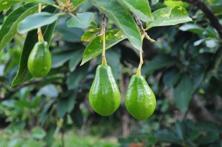 avocado: Albero di avocado Archivio Fotografico