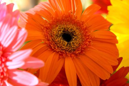 herbera: Orange herbera flower bouquet Stock Photo