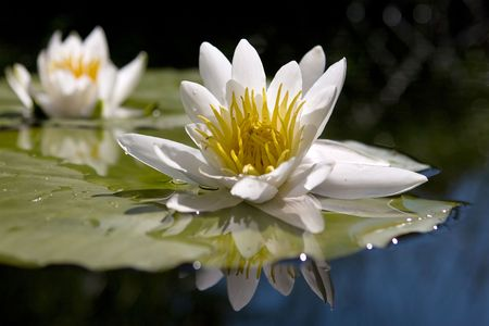 Water yellow white lily  Foto de archivo