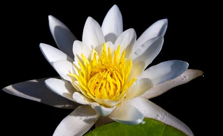 The water yellow-white lily Stock Photo - 5726751