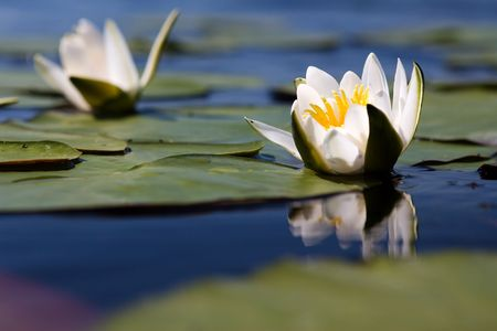 The water yellow-white lily Stock Photo - 5726753