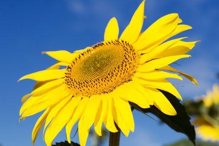 Light yellow sunflower on field photo
