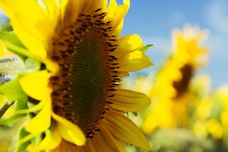 Sunflowers on the  sunflower field Stock Photo - 5726758