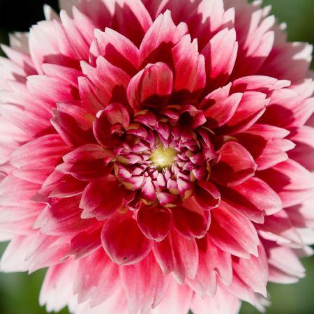 pion: Red-white pion flower