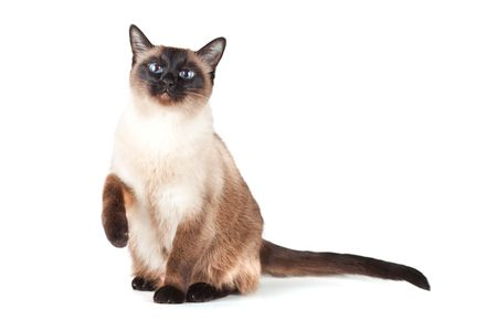 blue siamese cat: Siamese cat with blue eyes isolated on white background