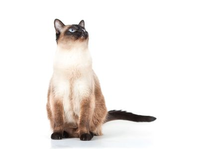 blue siamese cat: Siamese cat with blue eyes looks upwards isolated on white background