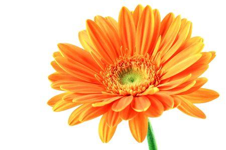 Orange gerbera flower isolated on white background