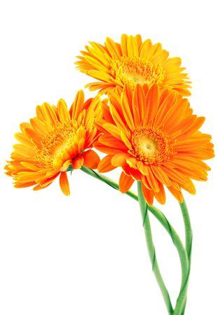 Three orange gerbera flowers Stock Photo