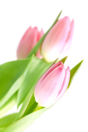 Beautiful pink tulip flowers isolated on white background photo