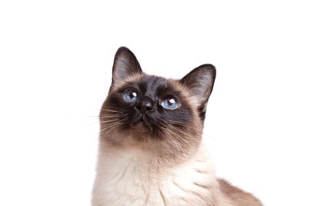 Siamese cat with blue eyes looks upwards isolated on white background  Stock Photo