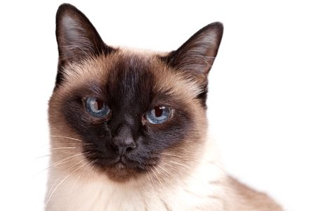 blue siamese cat: Siamese cat with blue eyes looks in camera isolated on white background