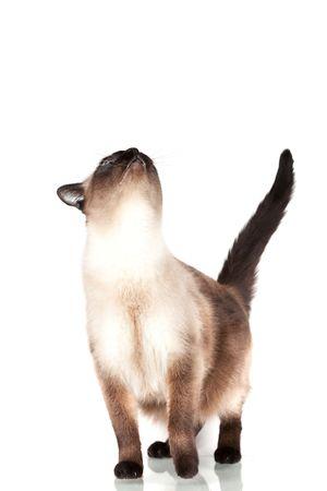 Siamese cat with blue eyes looks upwards isolated on white background photo
