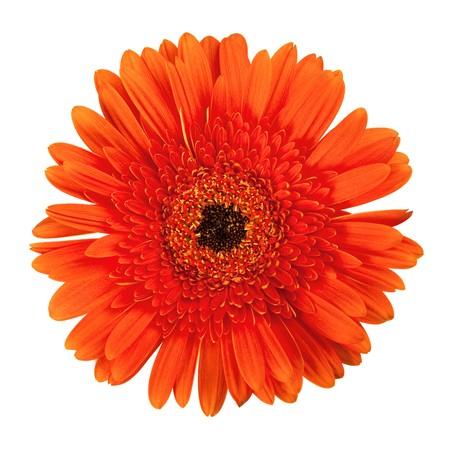 Gerbera arancione fiore. Closeup, isolata on white