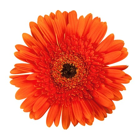 Orange gerbera flower. Closeup, isolated on white photo