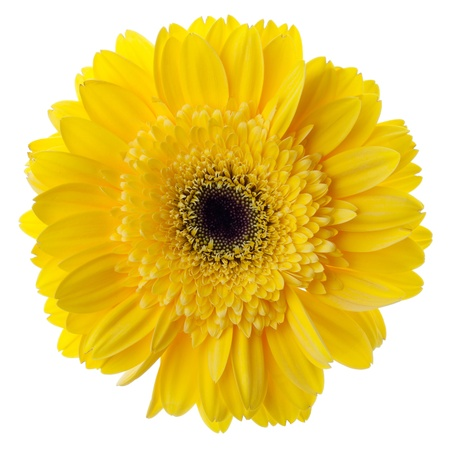 simple flower: Yellow gerbera flower closeup. Isolated on white