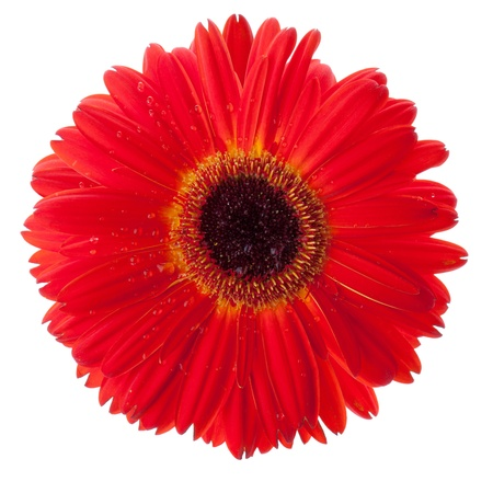 Red gerbera flower closeup with water drops. Isolated on white
