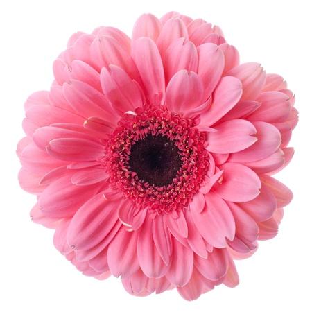 Roze gerbera bloem close-up. Geïsoleerd op wit Stockfoto