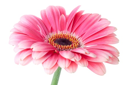 Pink gerbera flower on stem. Closeup.  Isolated on white Stock Photo
