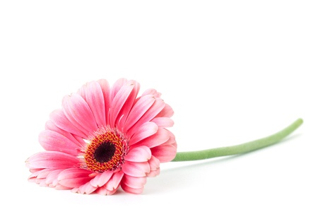 single object: Pink gerbera flower. Isolated on white Stock Photo