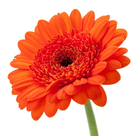 Orange gerbera isolated on white background photo