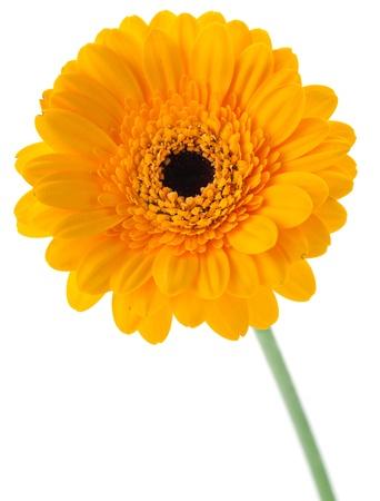 marguerite: Gerbera jaune isolé sur fond blanc Banque d'images