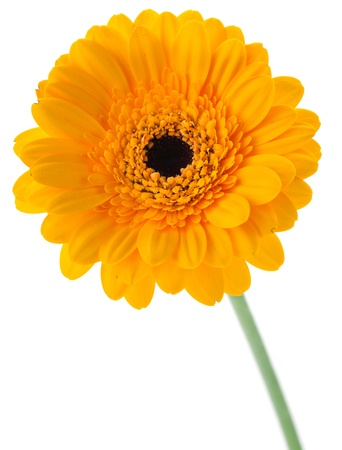 Yellow gerbera isolated on white background photo