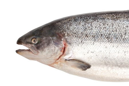 Fresh big salmon. Closeup. Isolated on white background photo