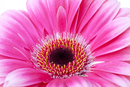 Pink flower closeup. Isolated on white Stock Photo - 9248317