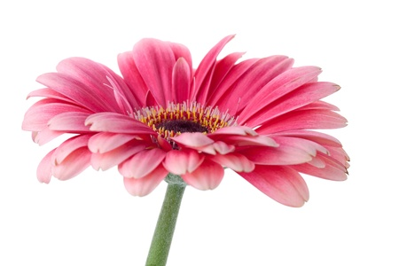 Pink gerbera flower on stem. Closeup.  Isolated on white Stock Photo - 9294795
