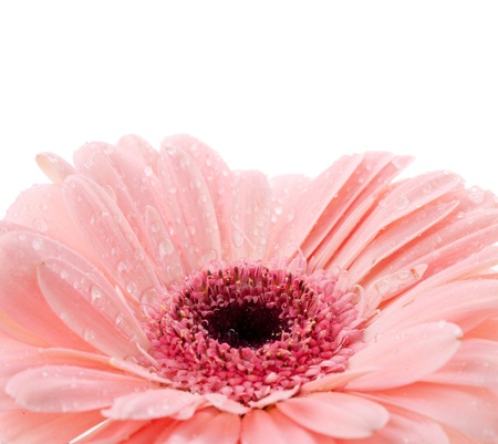 Pink gerbera with water drops. Isolated on white background photo