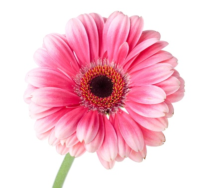 Pink gerbera flower on stem. Isolated on white