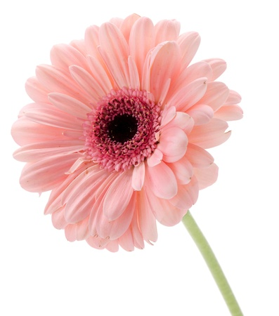white with daisies: Pink gerbera isolated on white background