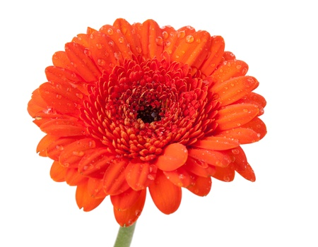 Orange gerbera with water drops. Isolated on white background Stock Photo - 9626963