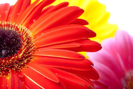 Gerbera flowers closeup photo