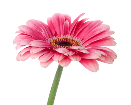 gerber: Pink gerbera flower on stem. Isolated on white