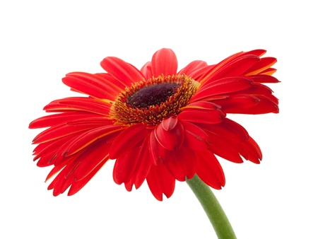 Red gerbera flower. Closeup. Isolated on white photo