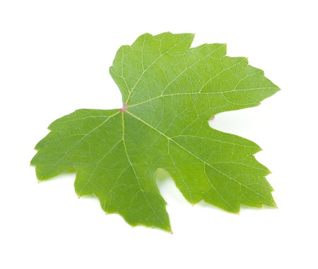 Grapes leaf. Isolated on white background photo