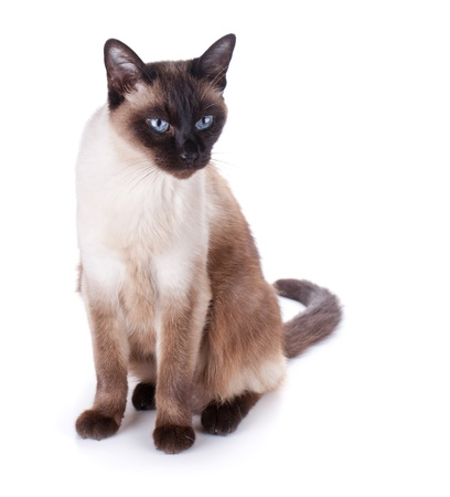 Siamese cat. Isolated on white background photo