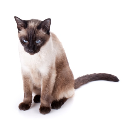 blue siamese cat: Siamese cat. Isolated on white background