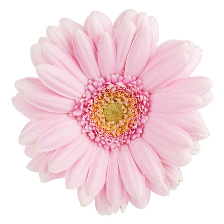 Pink gerbera flower. Isolated on white background Stock Photo