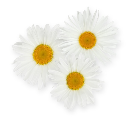 Three chamomile flowers. Isolated on white background photo