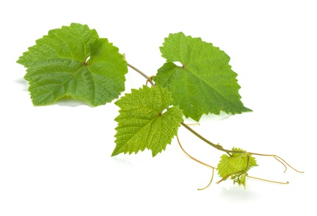 Wijnstok. Geà ¯ soleerd op witte achtergrond Stockfoto