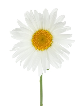 Chamomile flower. Isolated on white background photo