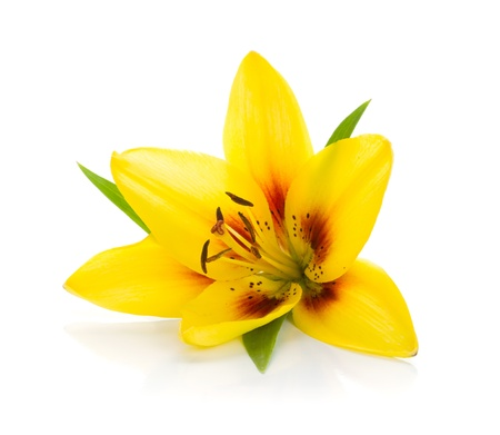 lily buds: Yellow lily. Isolated on white background