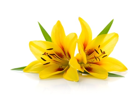 Two yellow lily. Isolated on white background photo
