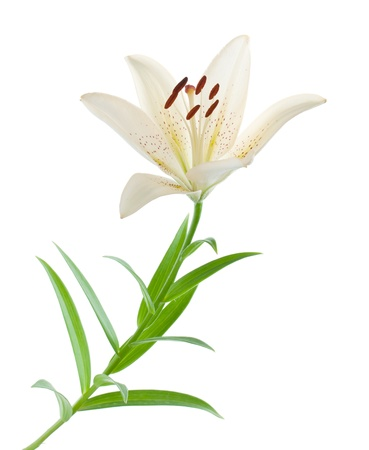 lily buds: White lily. Isolated on white background