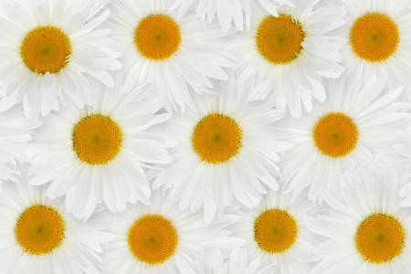 White chamomile flower background photo