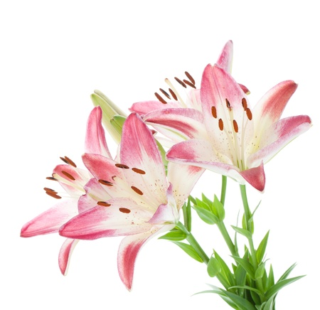 lilly: Four pink lily. Isolated on white background