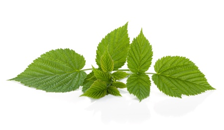 blackberries: Raspberry leafs  Isolated on a white background
